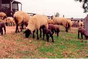 Produção de ovinos de corte
