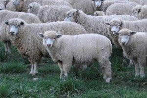 Criação de Ovelhas
