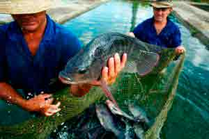 Criação de camarões e tilápias