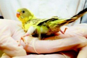Auxiliar de Veterinário de Pássaros